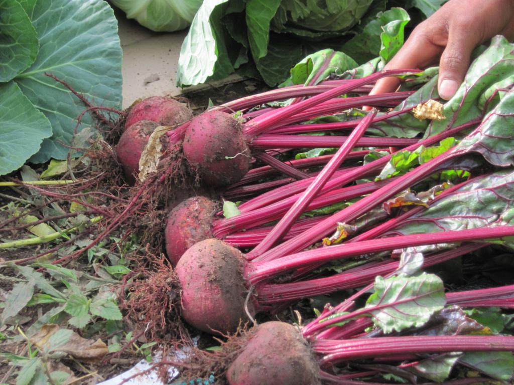 cosecha de hortalizasla vicctoria 28 dic 2011 036